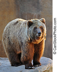 Grizzly Bear Portrait - portrait of a grizzly bear upright...