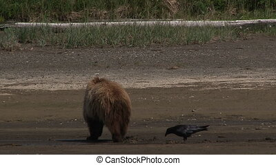 Grizzly Bear (Ursus arctos) - Grizzly Bear (Ursus arctos...