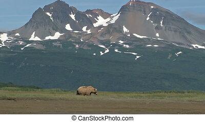Grizzly Bear (Ursus arctos horribilis) walking in Katmai N.P. Landscape
