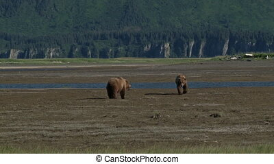 Grizzly Bears come together - Two Grizzly Bears (Ursus...