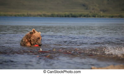 Grizzly bears fishing for salmon, Kamchatka, Russia