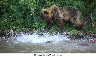 Grizzly bears fishing for salmon