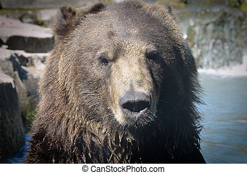 grizzly björn