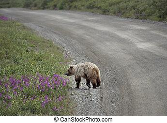 grizzly björn, in, denali nationell park, alaska