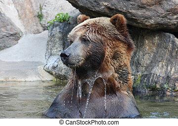 grizzly bjørn