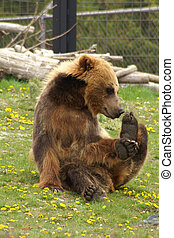 Grizzly Brown Bear - Brown bear sniffing at his feet
