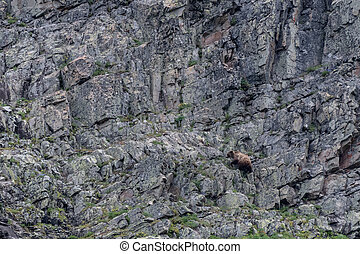 Grizzly Climbs Rock Wall