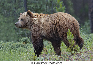 grizzly, -, jasper parco nazionale