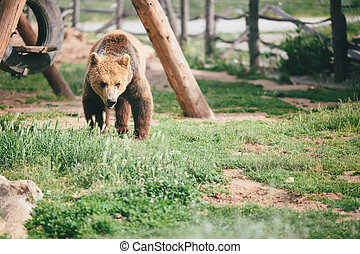 grizzly, marche