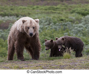 Grizzly Mom - Grizzly bear with two small cubs.