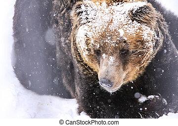 The Snow Brown Bear, Hokkaido, Japan