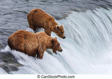 grizzlybären, fischerei, für, lachs