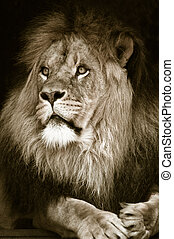 groß, afrikanischer mann, löwe