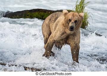 groß, alaskischer brauner bär, an, bäche, fällt
