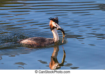 groß, crested, grebe, auf, a, see