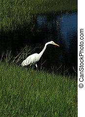 groß egret, neben, a, see