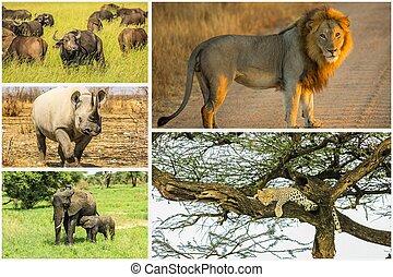 groß, fünf, afrikanisch