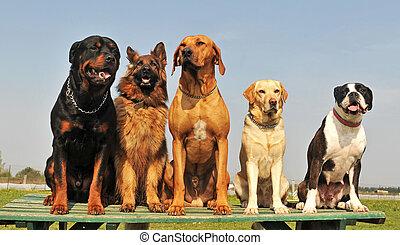 groß, fünf, hunden