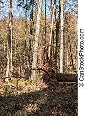 groß, gefallene bäume, mitte, von, der, wald