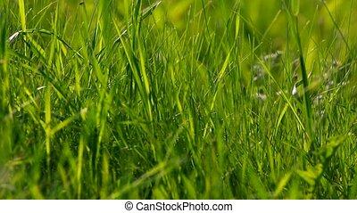 groß, grünes gras, hintergrund