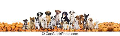 groß, gruppe, von, hunden, sitzen, auf, kürbise