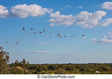 groß, herde, von, rosa, flamingos, flug