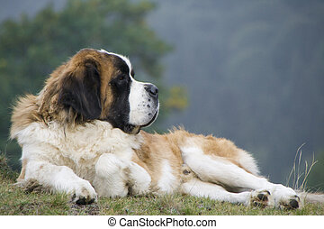 groß, hund, sitzen