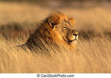 groß, löwe, mann