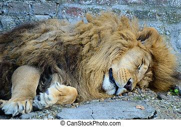 groß, mann, afrikanischer löwe, eingeschlafen