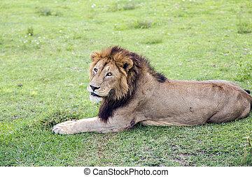 groß, mann, afrikanischer löwe, panthera leo, in, der, ngorongoro krater