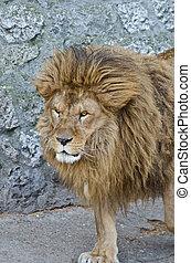 groß, mann, afrikanischer löwe, porträt