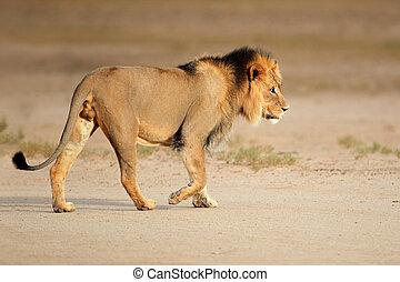 groß, mann, afrikanischer löwe
