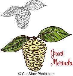 groß, morinda, skizze, tropische , maulbeere, fruechte, oder