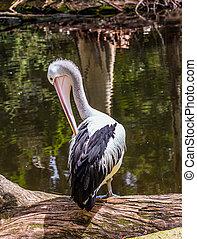 groß, pelikan, australische, wasservogel