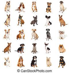 groß, rasse, gemeinsam, Sammlung, hunden