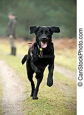 groß, rennender , schwärzen labrador