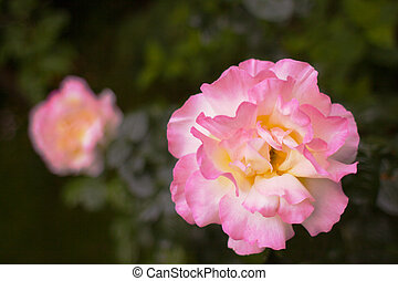 groß, rosa gelb, rose, weich, backgroud