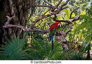 groß, rote grüne aras, in, der, rainforest