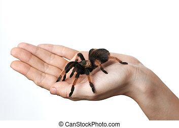 groß, spinne, hand