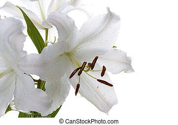 groß, weiße lilie