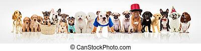 groß, weißes, Gruppe, hunden, hintergrund