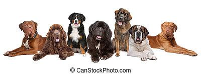 große gruppe, von, groß, hunden