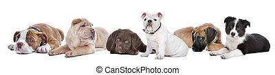 große gruppe, von, hundebabys, auf, a, weißer hintergrund