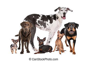 große gruppe, von, hunden