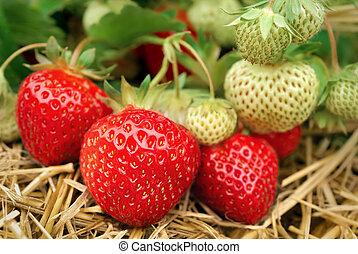 groeiende, aardbeien