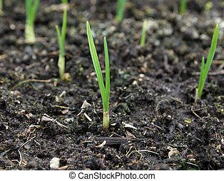 groeiende, de uien van de lente, tuin