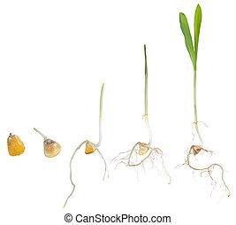 groeiende, koren, plant