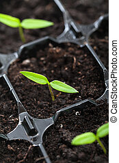groeiende, lente, kiemplant