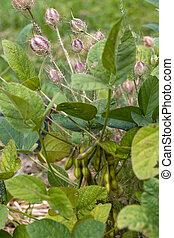 groeiende, (nigella, struik, damascena), duivel, tuin, bergamo