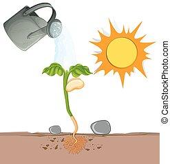 groeiende, ondergronds, plant